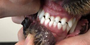 Anterior crossbite in a dog