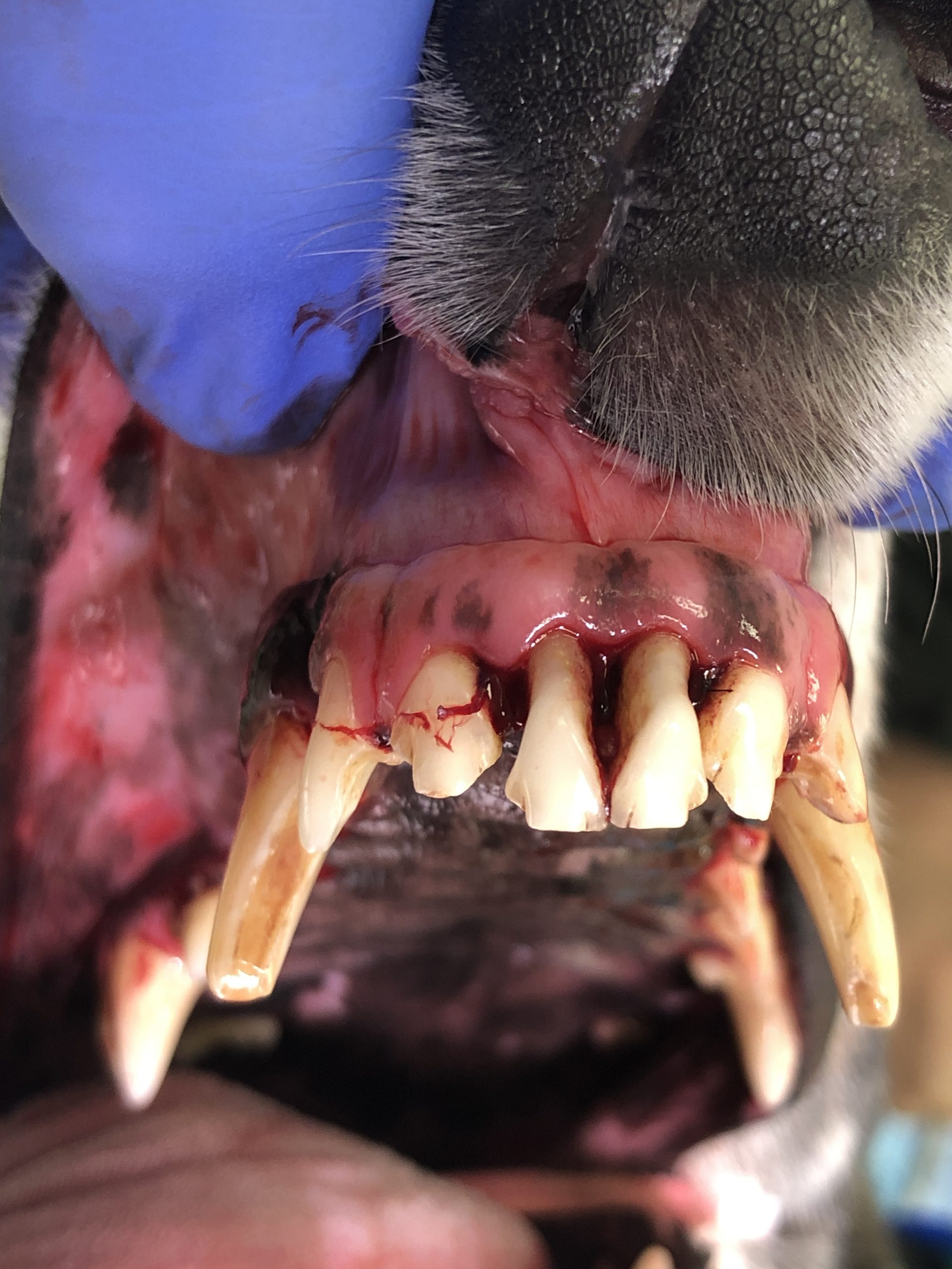 Periodontitis has destroyed a lot of the attachment to these incisors.