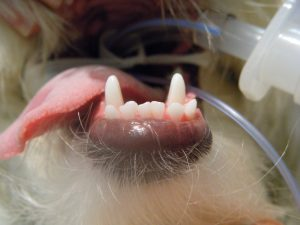 Linguoverted mandibular canines. These teeth cause pain for the dog.