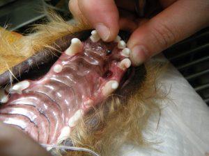 This is a traumatic oronasal fistula caused by a mandibular canine tooth.