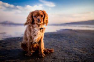 Cavalier King Charles on a beach