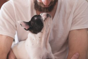 A Boston Terrier looking lovingly at their owner