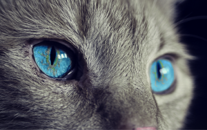 Beautiful blue eyes of a cat