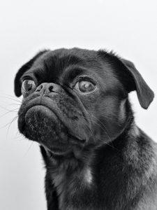 A grumpy looking pug