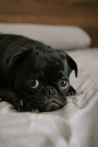 A cute pug having a rest