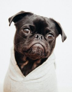 A pug wrapped in his bath towel