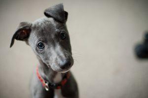 A curious Greyhound pup