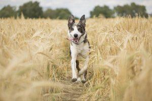 Dog running through a wheat field