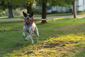 A cattle dog with a large stick in its mouth