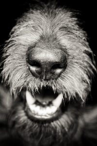 A Wolfhound's nose