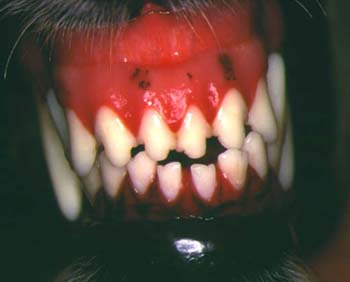 Anterior crossbite of incisors in a dog