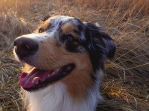 An Australian Shepherd smiling