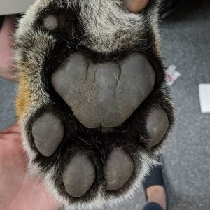 A tiger's paw. AAD work with some Big cats from time to time.